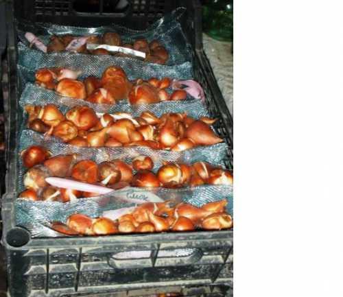 Как  посадить гиацинты осенью, преимущества