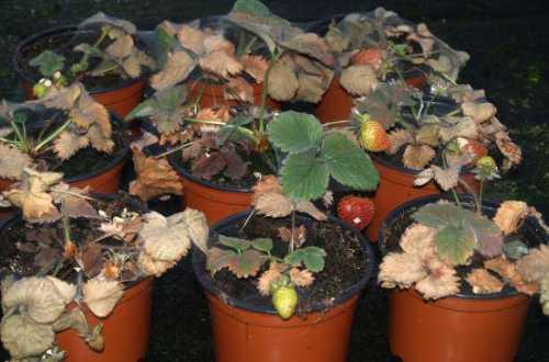 Как вырастить клубнику из семян: правильный выбор