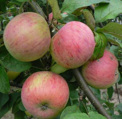 Особенности яблок сорта Фуджи: фото,