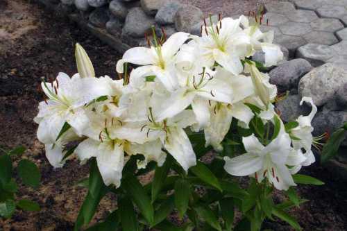 Лилия садовые цветы