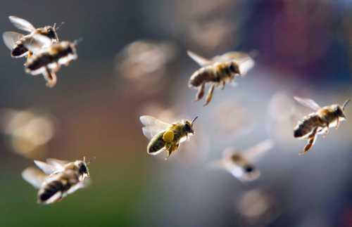 К чему снятся пчёлы, увидеть пчёл во сне,